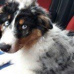 Bürohund Oskar als Welpe