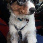 Bürohund Oskar im Auto